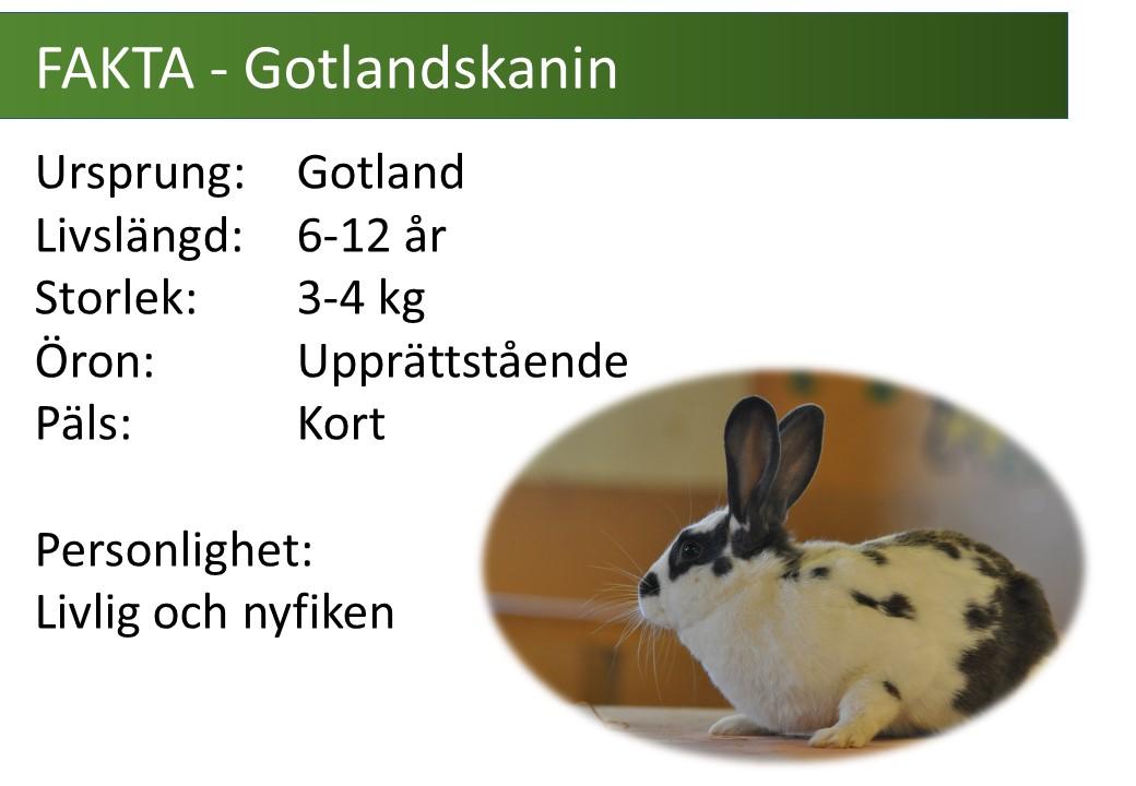 fakta_gotlandskanin