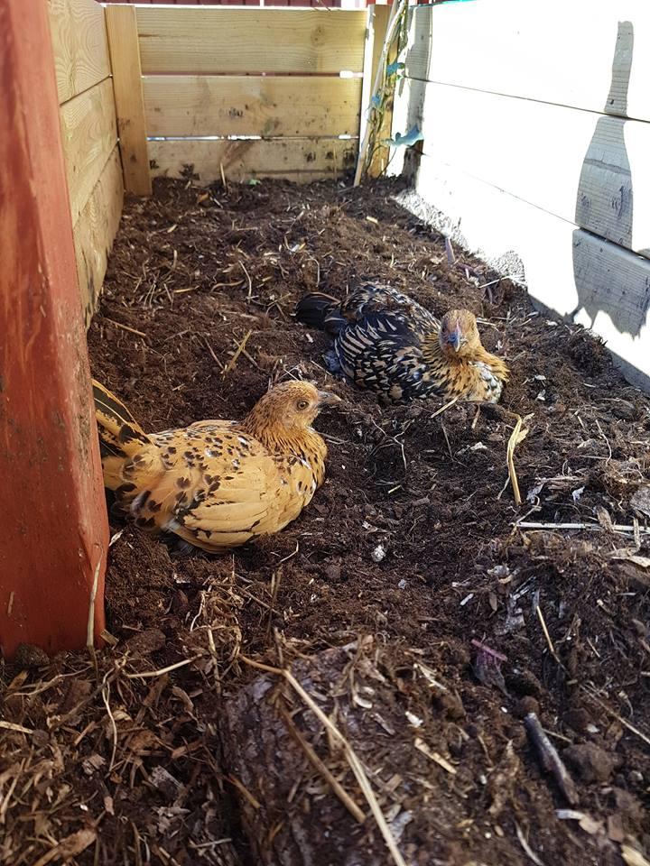 Stora svarta tuppar vita kycklingar