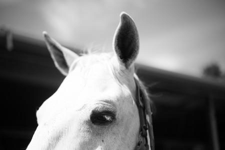 black-and-white-white-farm-photography-animal-horse-1830-pxhere.com