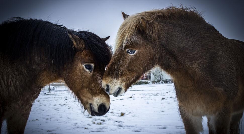 Gotlandsruss_Winter_2018_000